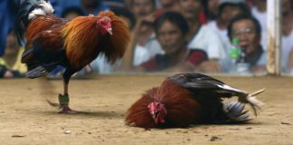 Cockfighting (Source-onegreenplanet.org)